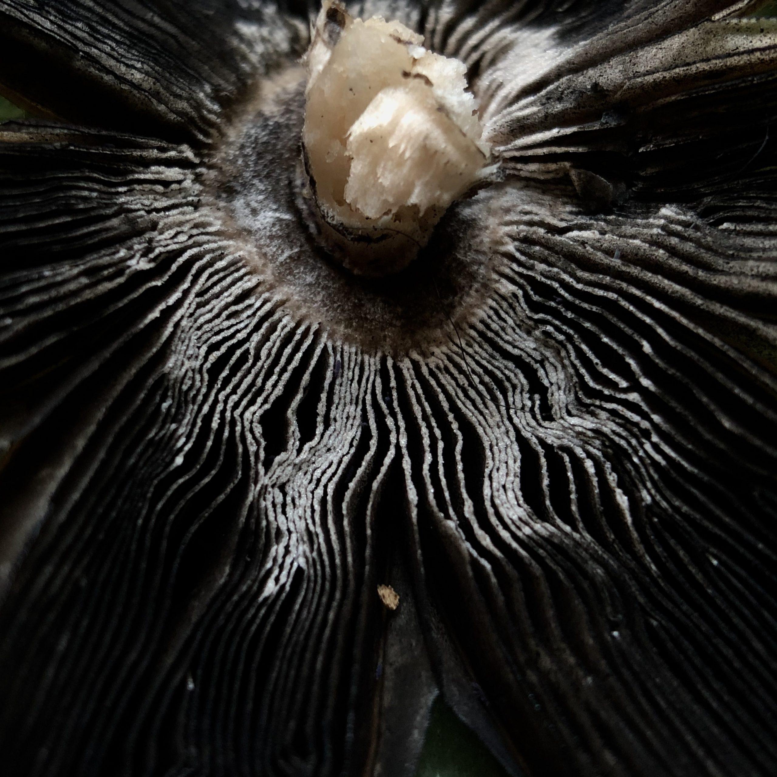 close up image of whitish, feathery mushroom fan
